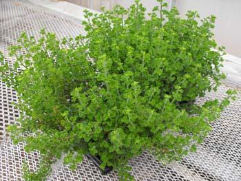 Pelargonium prince ruppert vert