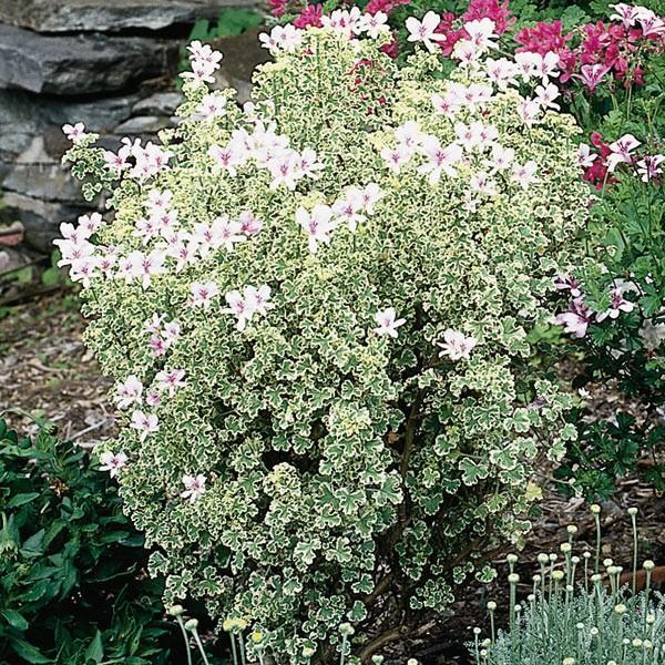 Pelargonium prince ruppert