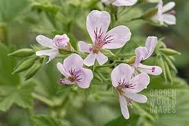 Pelargonium ribifolium
