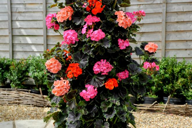 Pelargonium tall dark handsome