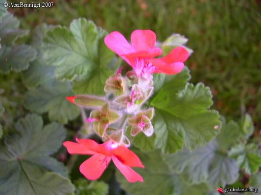 Pelargonium the shrubland pet