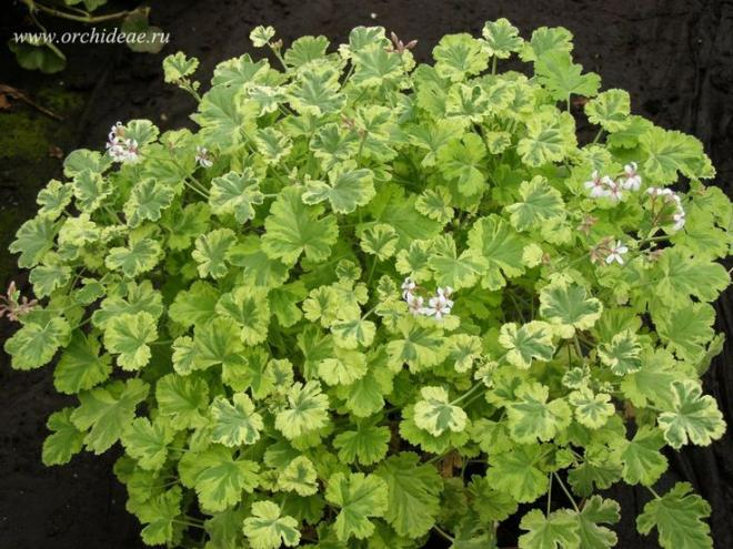 Pelargonium x fragans variegated