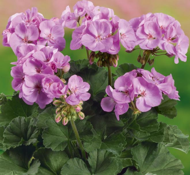 Pelargonium zonal grandeur dark lavender