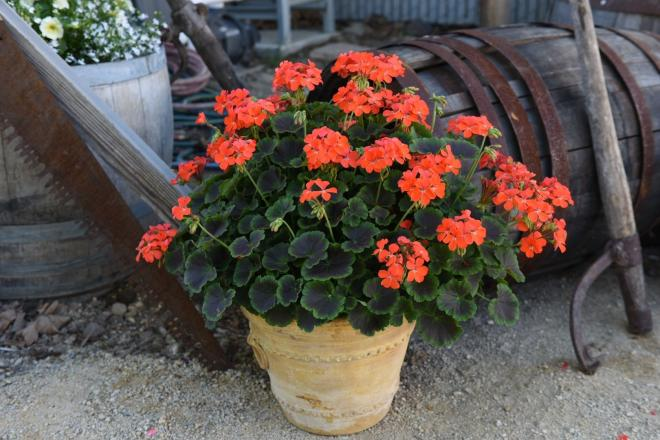 Pelargonium zonale brocade fire night photo dummen orange