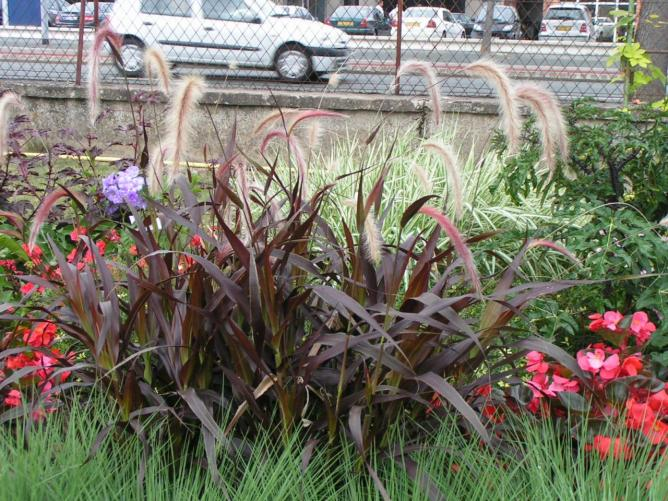 pennisetum-burgundy-giant.jpg