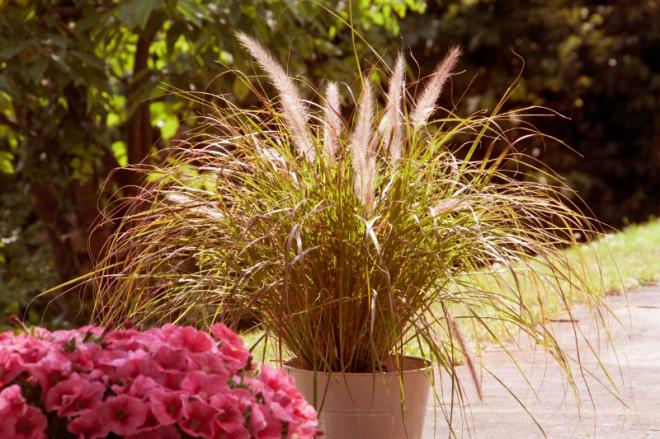 Pennisetum mayfair photo selecta 800x533