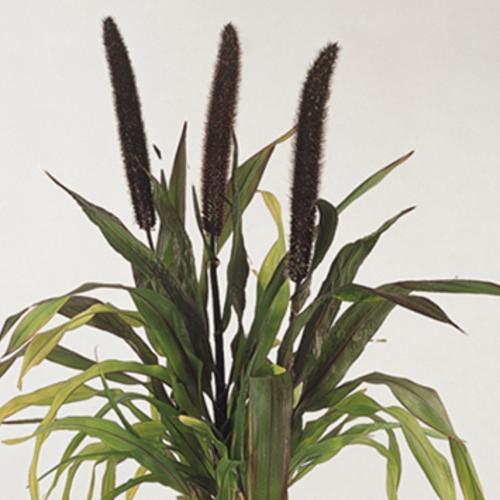 pennisetum-purple-baron.jpg