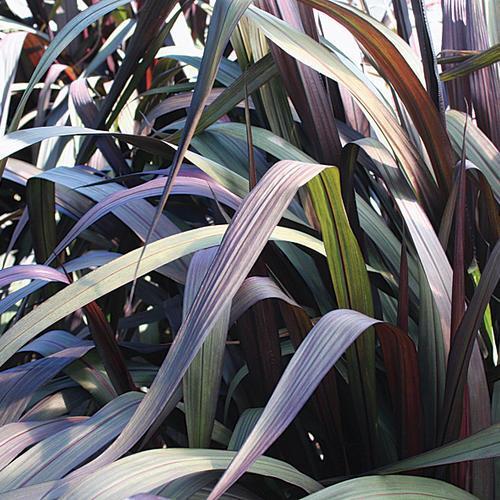 pennisetum-vertigo.jpg