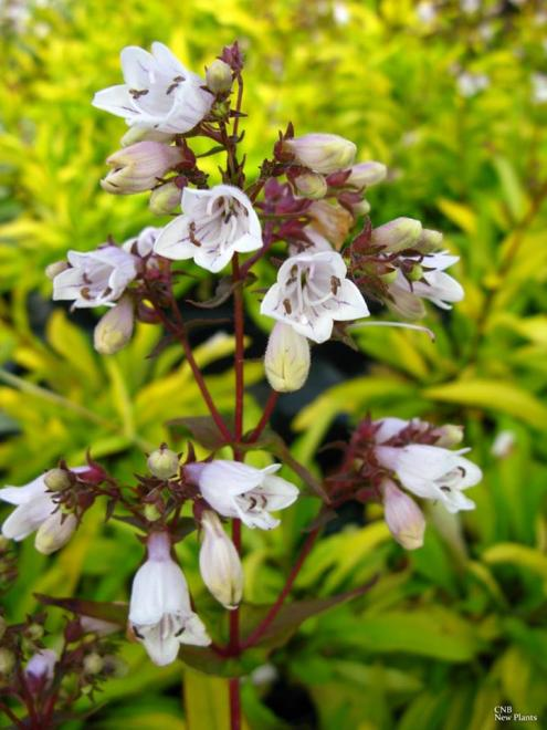Penstemon digitalis goldfinger