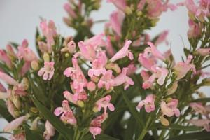 Penstemon rock candy series light pink photo darwin perennials 300x200