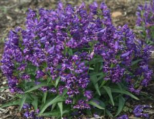 Penstemon rock candy series purple photo darwin perennials 300x232