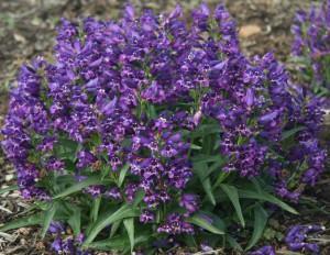 Penstemon rock candy series purple photo darwin perennials 300x232