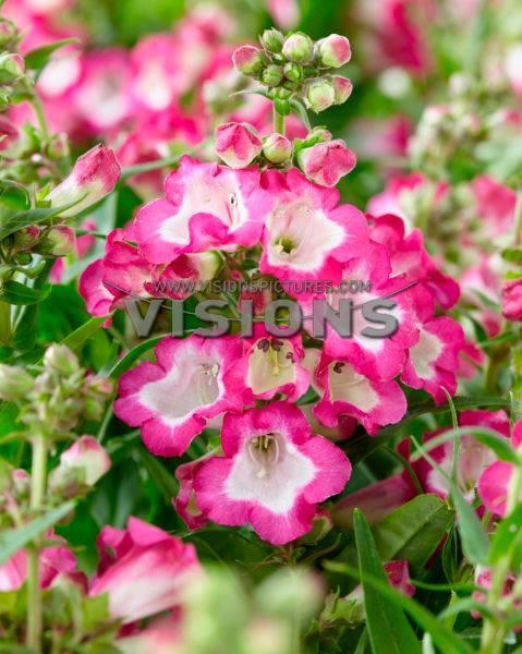 Pentastic rose