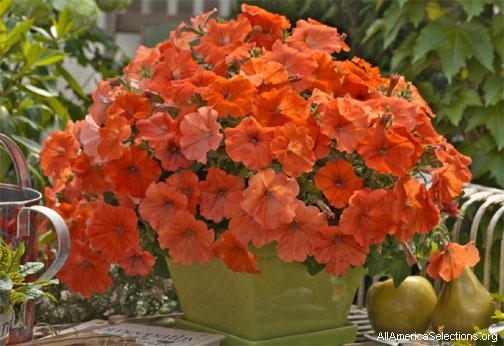 Petunia africansunset504