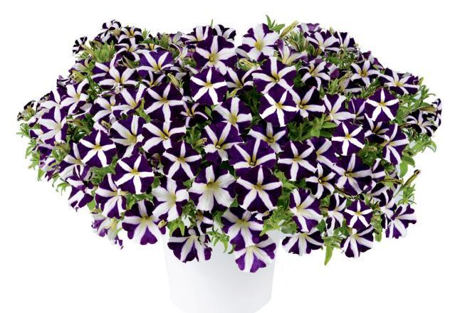 Petunia amore purple photo danziger1