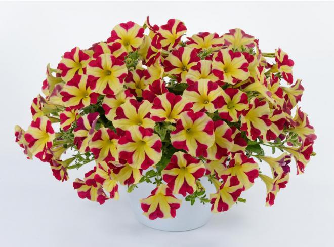 Petunia amore queen of hearts photo danziger dan flower farm