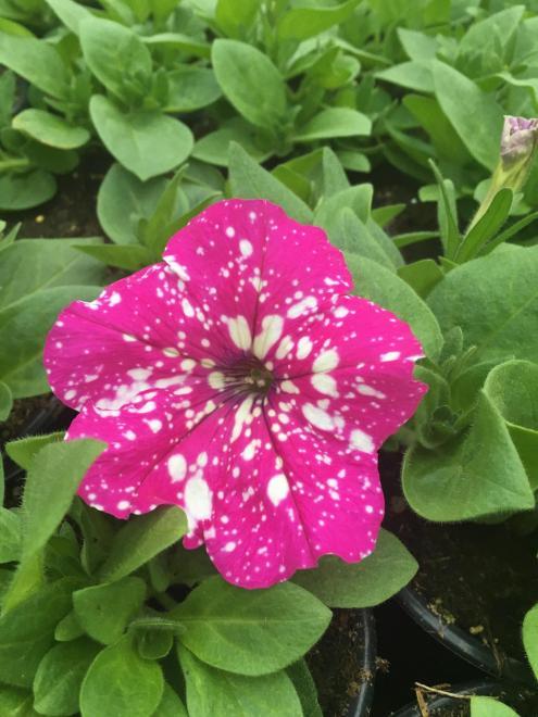 Petunia baby dole