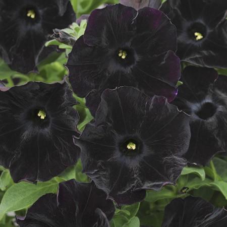 petunia-black-velvet.jpg