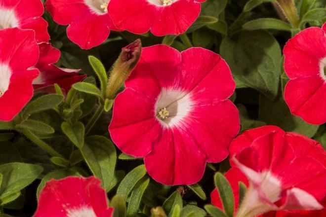 Petunia blanket red 6662 michells