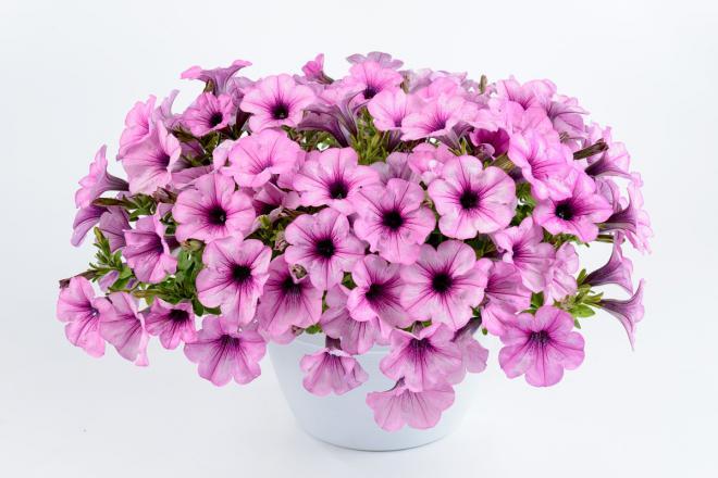 Petunia capella pink lace photo danziger1
