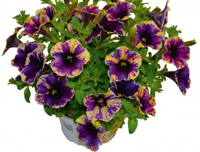 Petunia chameletunia purple splash