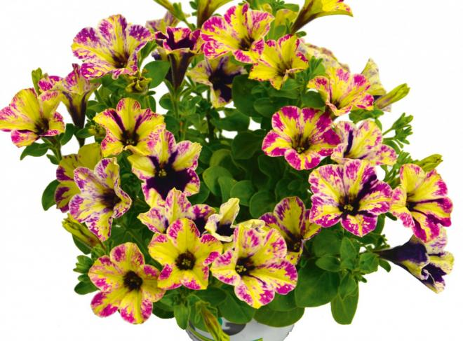 Petunia chameletunia rose splash