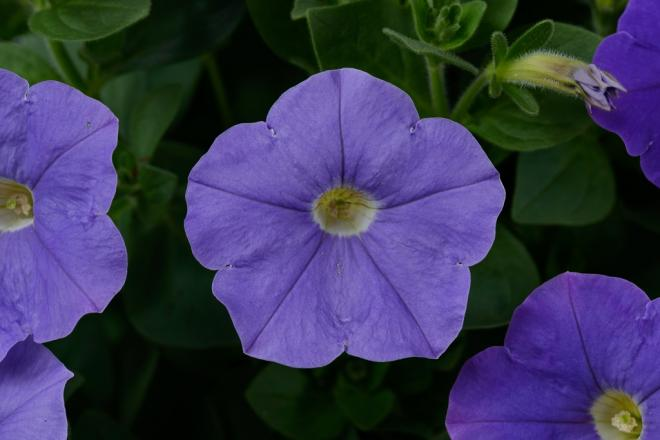 Petunia classic blue ray photo danziger dan flower farm