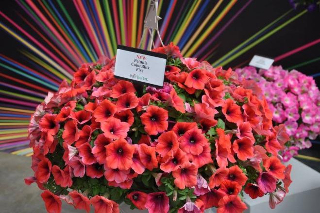 Petunia color blitz fire