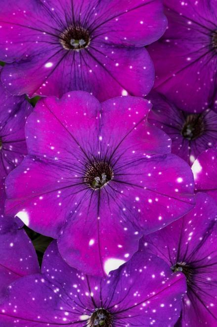 Petunia constellation aries photo westhoff