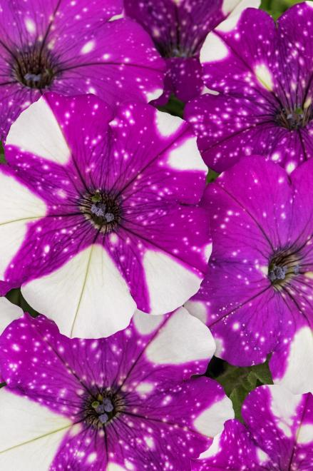 Petunia constellation gemini photo westhoff