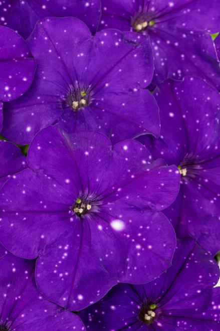 Petunia constellation virgo photo westhoff