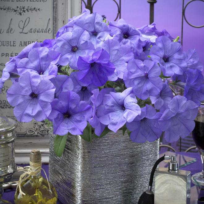 Petunia evening scentsation f1 photo all america selections