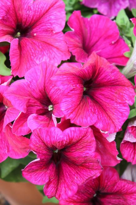 Petunia glow hot pink