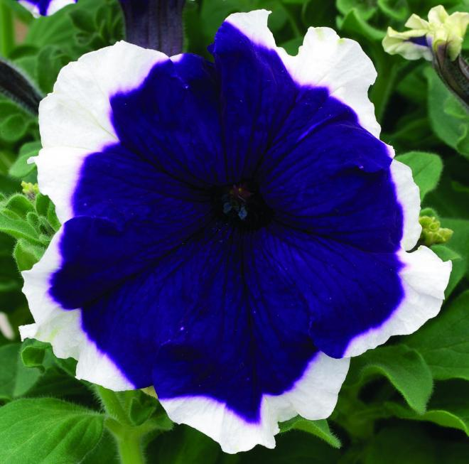 Petunia glow picotee blue
