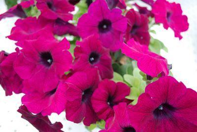 Petunia glow purple