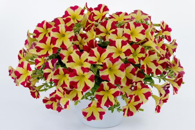 Petunia hybrida amore