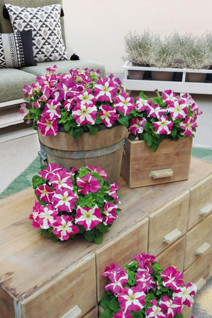 Petunia hybrida success hd rose star benary 1