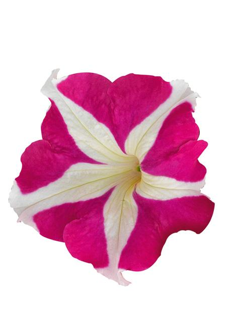 Petunia hybrida success hd rose star benary