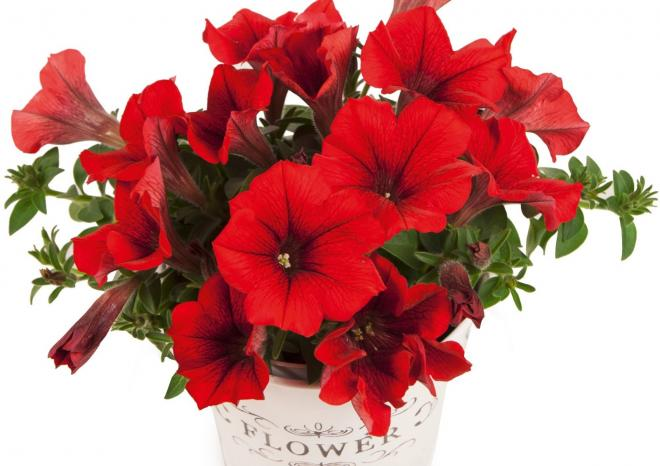 Petunia pegasus dark red