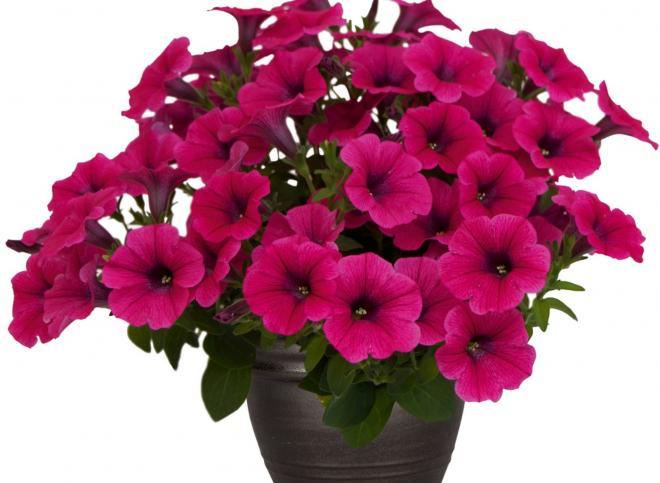Petunia pegasus hot pink
