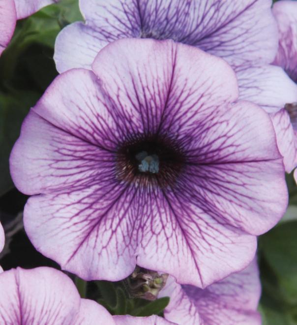 Petunia pegasus lavender vein