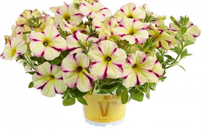 Petunia pegasus lime purple stripes