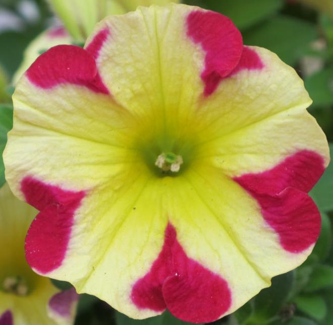 Petunia pegasus queen of heart