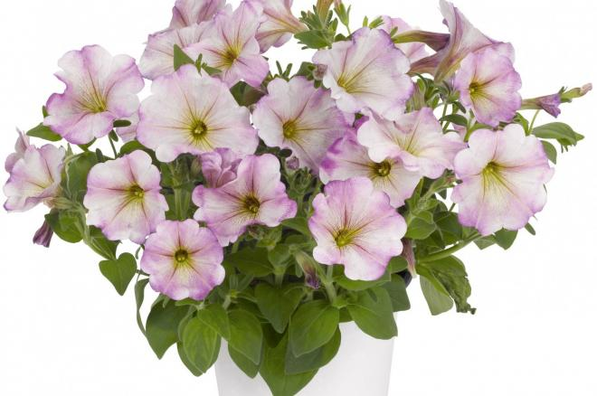 Petunia pegasus special lilac white