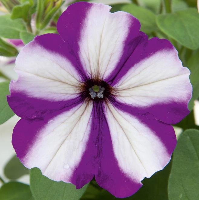 Petunia pegasus violet sar