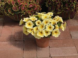 Petunia petubrachoa supercal light yellow