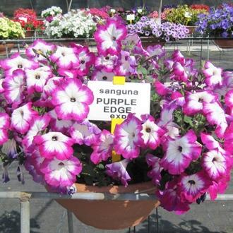 Petunia sanguna twirl purple