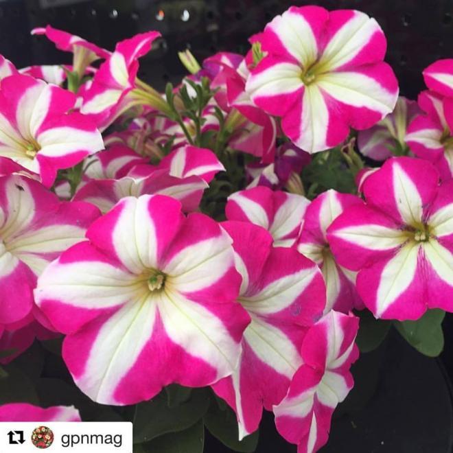 Petunia succes pink star benary