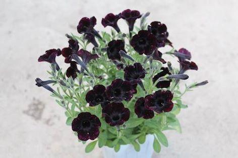 Petunia valentina autriche velour noir 1