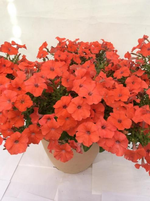 Petunia x hybrida mylove orange photo fleuroselect